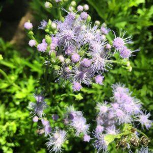 Blue Greg's Mist Flower